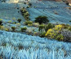piantagioni agave