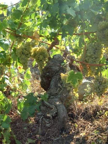 vigne di rossese bianco