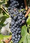 vitigno di mondeuse