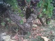 vecchie vigne di Rossese