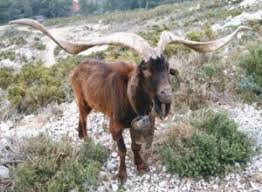 chèvre rove